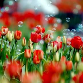 ІІІ Міська виставка тюльпанів  «Весняна феєрія»
